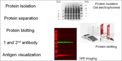 Multiplex Nir Imaging Of Protein Blots With The Uvp