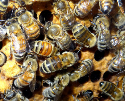 Why Are Bees in Decline?